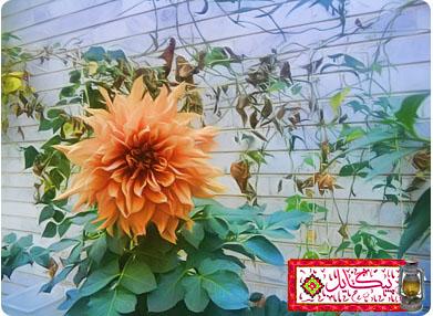 گل آشفته از فراق